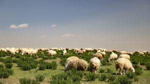 Na fotografii to už tak nevypadá, ale při jízdě byly ovce na horizontu jako beránci na obloze :-)