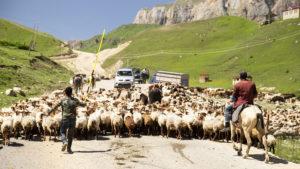 ...a ovcí!