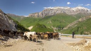 Cestou nás často zastavilo stádo krav, nebo ovcí. Někdy jsme čekali i půl hodiny, než někam dojdou. Stáda silnici nepřecházela, ale po silnici se vracela z pastvy.