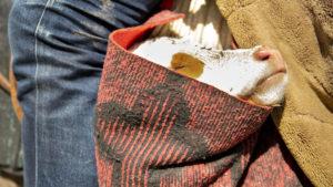 Jeden z honáků měl v pytli na koni dvoudenní tele, které vezl na pastvu a zpět, jelikož by to tele tu vzdálenost neušlo.